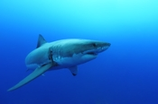 Photo: dd001546     Great White Shark , Carcharodon carcharias,  Isla Guadalupe, Pacific, Mexico