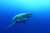 Photo: dd011025Great White Shark, Carcharodon carcharias, Isla Guadalupe, Pacific, Mexico