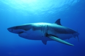 Photo: dd011027     Great White Shark , Carcharodon carcharias,  Isla Guadalupe, Pacific, Mexico