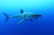 Photo: dd011028Great White Shark, Carcharodon carcharias, Isla Guadalupe, Pacific, Mexico