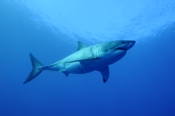 Photo: dd011029     Great White Shark , Carcharodon carcharias,  Isla Guadalupe, Pacific, Mexico