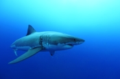 Photo: dd011030     Great White Shark , Carcharodon carcharias,  Isla Guadalupe, Pacific, Mexico