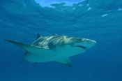 Photo: dd001741     Lemon shark , Negaprion brevirostris,  Tiger Beach, Atlantic, Bahamas