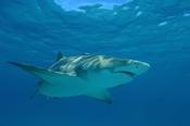 Photo: dd001741Lemon shark, Negaprion brevirostris, Tiger Beach, Atlantic, Bahamas