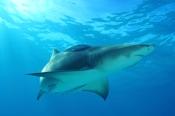 Photo: dd001889Lemon shark, Negaprion brevirostris, Tiger Beach, Atlantic, Bahamas