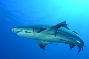 Photo: dd001890     Lemon shark , Negaprion brevirostris,  Tiger Beach, Atlantic, Bahamas