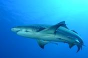 Photo: dd001890Lemon shark, Negaprion brevirostris, Tiger Beach, Atlantic, Bahamas