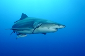 Photo: dd001891Lemon shark, Negaprion brevirostris, Tiger Beach, Atlantic, Bahamas