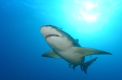 Photo: dd001892     Lemon shark , Negaprion brevirostris,  Tiger Beach, Atlantic, Bahamas