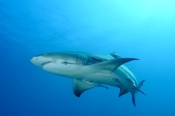Photo: dd001894     Lemon shark , Negaprion brevirostris,  Tiger Beach, Atlantic, Bahamas