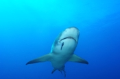 Photo: dd001899Lemon shark, Negaprion brevirostris, Tiger Beach, Atlantic, Bahamas