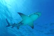Photo: dd001914Lemon shark, Negaprion brevirostris, Tiger Beach, Atlantic, Bahamas