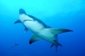 Photo: dd001915Lemon shark, Negaprion brevirostris, Tiger Beach, Atlantic, Bahamas