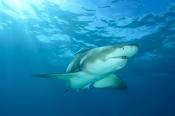 Photo: dd011000Lemon shark, Negaprion brevirostris, Tiger Beach, Atlantic, Bahamas