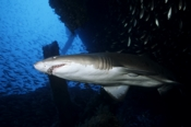 Photo: dd001069     Sandtiger shark , Carcharias taurus,  Cape Lookout, Atlantic, North Carolina, USA