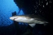 Photo: dd001069Sandtiger shark, Carcharias taurus, Cape Lookout, Atlantic, North Carolina, USA