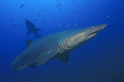 Photo: dd001071     Sandtiger shark , Carcharias taurus,  Cape Lookout, Atlantic, North Carolina, USA