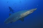 Photo: dd001071Sandtiger shark, Carcharias taurus, Cape Lookout, Atlantic, North Carolina, USA
