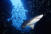 Photo: dd001075     Sandtiger shark , Carcharias taurus,  Cape Lookout, Atlantic, North Carolina, USA