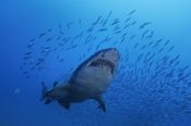 Photo: dd001077     Sandtiger shark , Carcharias taurus,  Cape Lookout, Atlantic, North Carolina, USA