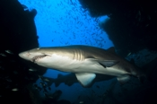 Photo: dd001079     Sandtiger shark , Carcharias taurus,  Cape Lookout, Atlantic, North Carolina, USA