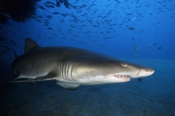 Photo: dd001081     Sandtiger shark , Carcharias taurus,  Cape Lookout, Atlantic, North Carolina, USA