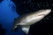Photo: dd001082Sandtiger shark, Carcharias taurus, Cape Lookout, Atlantic, North Carolina, USA