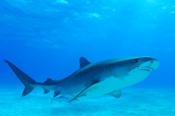 Photo: dd001306     Tiger shark , Galeocerdo cuvier,  Tiger beach, Atlantic, Bahamas