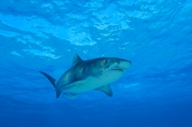 Photo: dd001310     Tiger shark , Galeocerdo cuvier,  Tiger beach, Atlantic, Bahamas