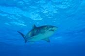 Photo: dd001310Tiger shark, Galeocerdo cuvier, Tiger beach, Atlantic, Bahamas