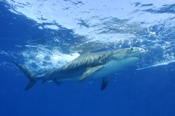 Photo: dd001485     Tiger shark , Galeocerdo cuvier,  Tiger beach, Atlantic, Bahamas