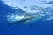 Photo: dd001485Tiger shark, Galeocerdo cuvier, Tiger beach, Atlantic, Bahamas