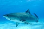Photo: dd001697Tiger shark, Galeocerdo cuvier, Tiger beach, Atlantic, Bahamas