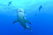 Photo: dd001920     Tiger shark , Galeocerdo cuvier,  Tiger beach, Atlantic, Bahamas