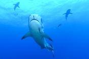 Photo: dd001920Tiger shark, Galeocerdo cuvier, Tiger beach, Atlantic, Bahamas