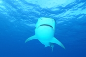 Photo: dd001921     Tiger shark , Galeocerdo cuvier,  Tiger beach, Atlantic, Bahamas