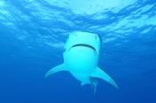 Photo: dd001921Tiger shark, Galeocerdo cuvier, Tiger beach, Atlantic, Bahamas