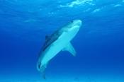 Photo: dd001922Tiger shark, Galeocerdo cuvier, Tiger beach, Atlantic, Bahamas