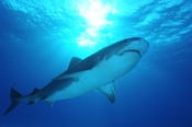 Photo: dd001948     Tiger shark , Galeocerdo cuvier,  Tiger beach, Atlantic, Bahamas