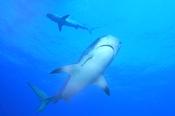 Photo: dd001950Tiger shark, Galeocerdo Cuvier, Tiger beach, Atlantic, Bahamas