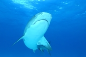 Photo: dd011052     Tiger shark , Galeocerdo cuvier,  Tiger beach, Atlantic, Bahamas