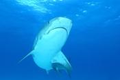 Photo: dd011052Tiger shark, Galeocerdo cuvier, Tiger beach, Atlantic, Bahamas