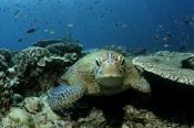 Photo: dd001415Hawksbill turtle , Eretmochelys imbricata,  Sipadan, Celebes Sea, Malaysia