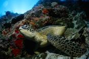 Photo: dd001416Hawksbill turtle , Eretmochelys imbricata,  Sipadan, Celebes Sea, Malaysia