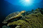 Photo: dd001417Hawksbill turtle , Eretmochelys imbricata,  Sipadan, Celebes Sea, Malaysia