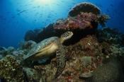 Photo: dd001418Hawksbill turtle , Eretmochelys imbricata,  Sipadan, Celebes Sea, Malaysia