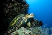 Photo: dd001480Hawksbill turtle , Eretmochelys imbricata,  Sipadan, Celebes Sea, Malaysia