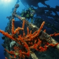 Photo: dd001247     Shipwreck Umbria and red sponge , Latrunculia corticata,  Red Sea, Sudan