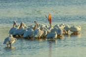Photo: dd001601     American white Pelican , Pelecanus erythrorhynchos,  Sanibel Island, Florida, USA