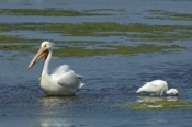 Photo: dd001602     American white Pelican , Pelecanus erythrorhynchos,  Sanibel Island, Florida, USA